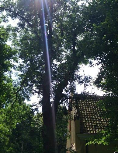 zieke en zonwerende Es in Westernieland